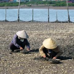 Ngao hàu chết hàng loạt, nông dân Nghệ An lâm cảnh nợ nần