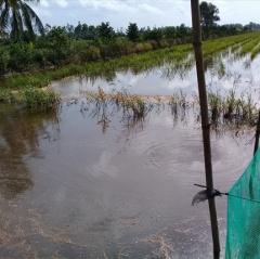 Mô hình nuôi cá trên ruộng trong mùa nước nổi