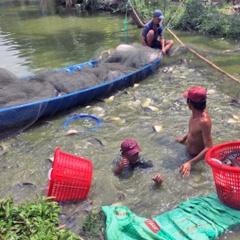 Nông dân Hậu Giang trở thành tỷ phú nhờ nuôi cá thát lát