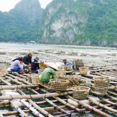 Quảng Ninh: Quản lý, nâng cao chất lượng con giống nhuyễn thể