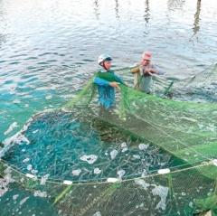 Hiệu quả nuôi tôm thẻ chân trắng công nghệ cao ở Thái Bình