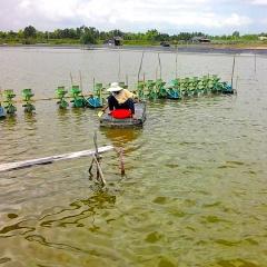 Thuận Nam: Ưu tiên phát triển nuôi tôm thẻ chân trắng