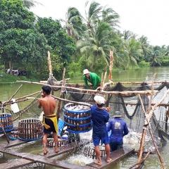 Mang Thít: Diện tích và sản lượng cá tra tăng mạnh