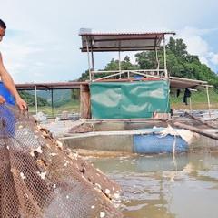 Kinh nghiệm cho cá ăn tỏi chữa bệnh, cá lớn vù vù