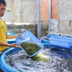 Khởi nghiệp trồng rong nho chỉ với 400.000 đồng