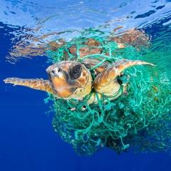 Bên trong ruột mỗi con rùa biển đều có chứa hạt vi nhựa