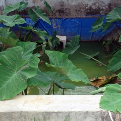 Sản xuất lươn giống ở trung tâm giống Quảng Nam