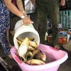 Người nuôi cá La Ngà vừa nhận xong hỗ trợ cá lại chết hàng loạt