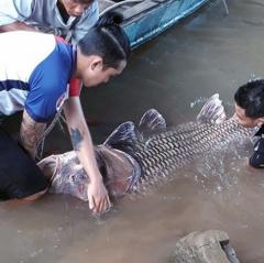 Bắt được cá hô vàng khủng, ngư dân được hơn 300 triệu
