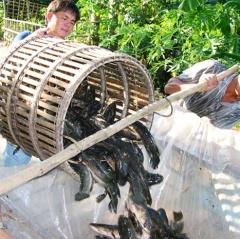ĐBSCL: Cận tết các loài thủy sản nước ngọt tăng giá mạnh
