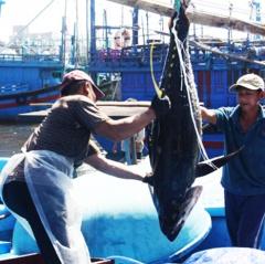 Ðưa cá ngừ đại dương Bình Ðịnh lên đẳng cấp mới