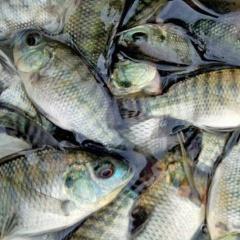 4 cách nuôi ghép cá rô phi và tôm thẻ chân trắng
