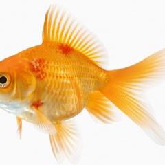 Tăng tỉ lệ sống của cá nhiễm bệnh xuất huyết bằng cỏ sữa lá lớn