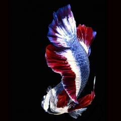 Thái Lan lựa chọn cá Xiêm làm động vật thủy sinh quốc gia