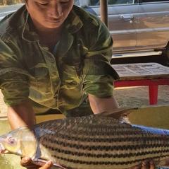 Sê San được mùa cá