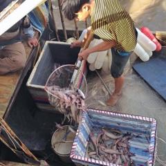 Giá cá khoai liên tục tăng mạnh, ngư dân phấn khởi
