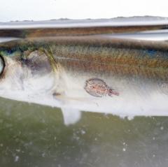 Hứa hẹn kiểm soát ký sinh trùng nhờ các loài cá làm sạch