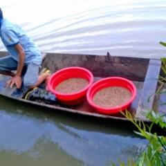 Quảng Ninh: Thành công từ mô hình rươi - lúa