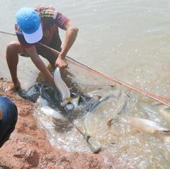 Cá da trơn nước lợ - Lãi cao nhưng không dễ
