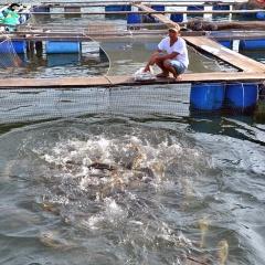"""Nghề nuôi """"cá bạc tỷ"""" ở Sơn Hải"""