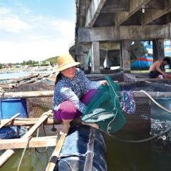 Lý Sơn: Hơn 7 ngàn con cá bớp chết chưa rõ nguyên nhân