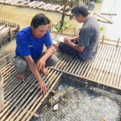 Đồng Tháp: Nuôi cá lóc bông trong bè hiệu quả