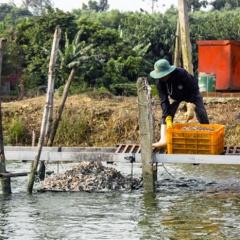 HTX thủy sản chủ động, nông dân nuôi cá không sợ ép giá