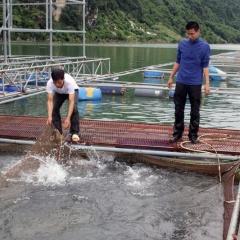 Nuôi cá lồng vùng hồ sông Đà cần phát triển liên kết chuỗi