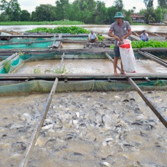 Quảng Nam: Hiệu quả từ nuôi cá Thát lát cườm lồng bè trên hồ