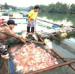Nông dân thiệt hại nặng do nuôi cá trái vụ
