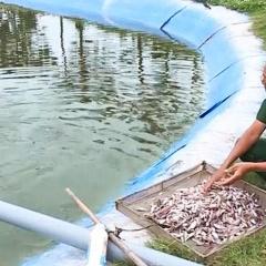 Nuôi cá vược thích ứng biến đổi khí hậu cho thu nhập cao