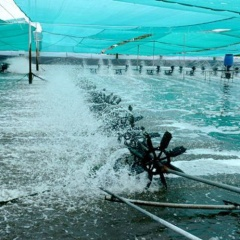 Cà Mau: Cần chủ động phòng ngừa dịch bệnh trên tôm nuôi