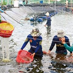 Ứng dụng công nghệ sinh học vào sản xuất tôm Cà Mau