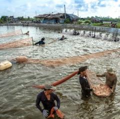 Bến Tre: Khuyến cáo ngưng thả giống tôm biển cuối năm 2018