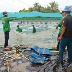 Nông dân nuôi tôm Cà Mau phấn khởi vì giá tôm tăng