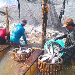 """Cá tra: Cảnh báo """"bẫy"""" từ thị trường Trung Quốc"""