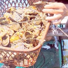 Hiệu quả nuôi hàu, cá mú ven đầm Nại