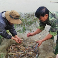 Nghệ An: Người nuôi lãi cao từ tôm càng xanh