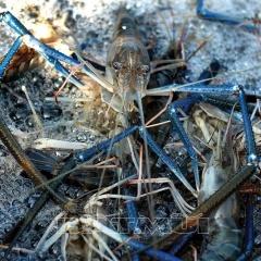 Thới Bình: Thu hoạch tôm càng xanh trên ruộng lúa