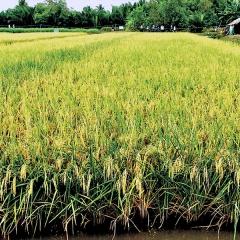 Hỗ trợ nông dân thực hiện mô hình tôm càng xanh - lúa ở ĐBSCL