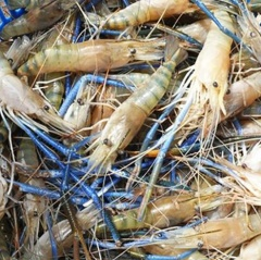 Kết hợp Tôm càng xanh – Lúa lợi nhuận cao gấp 2-3 lần trồng lúa