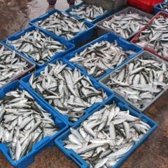 """Ngư dân Lộc Hà liên tục """"trúng"""" cá trích trái vụ"""