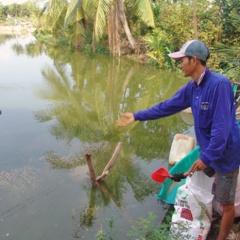 Ương cá giống thua hóa chất, bày vi sinh