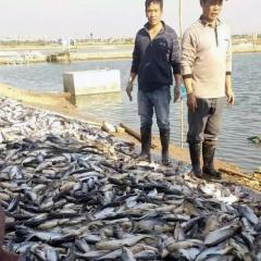 Nhiệt độ giảm thấp: cá tra, cá rô phi nuôi Trung Quốc chết hàng loạt