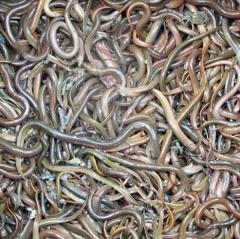 """""""Huyện lúa"""" ở Nghệ An mỗi năm cung cấp 900 tấn lươn thương phẩm"""