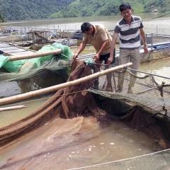 Điển hình nuôi cá chiên trên hồ thủy điện