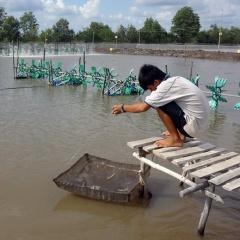 Khung lịch thời vụ nuôi tôm Cà Mau năm 2019