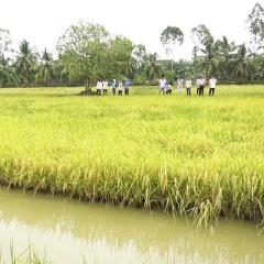 Hiệu quả mô hình sản xuất lúa hữu cơ trên đất nuôi tôm