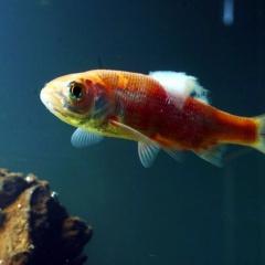 Phòng trị bệnh do nấm và virus trên cá nuôi lồng bè