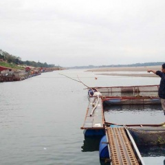 Người nuôi cá lồng lao đao vì nước sông Đà cạn kiệt